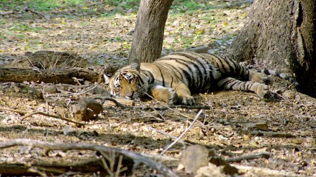 stockvideo's en b-roll-footage met tiger lying down under the tree - opeenvolgende serie