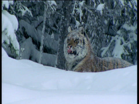 Tiger lying in deep snow licks its paw, Siberia