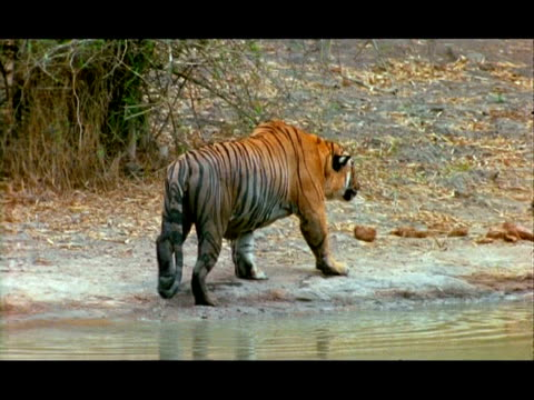 tiger (panthera tigris) lying next to water, gets up and walks away, nagarahole, southern india - next to stock videos and b-roll footage