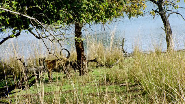 tiger marking territory near lakeshore - animal colour stock videos & royalty-free footage