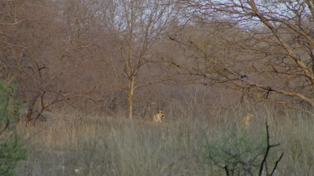 tiger mother and cub at dry thorn forest - thorn stock videos & royalty-free footage