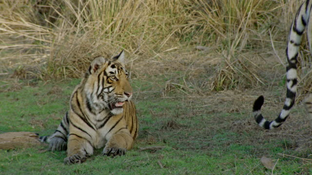 tiger mother and cub looking towards the camera - endangered species stock videos & royalty-free footage
