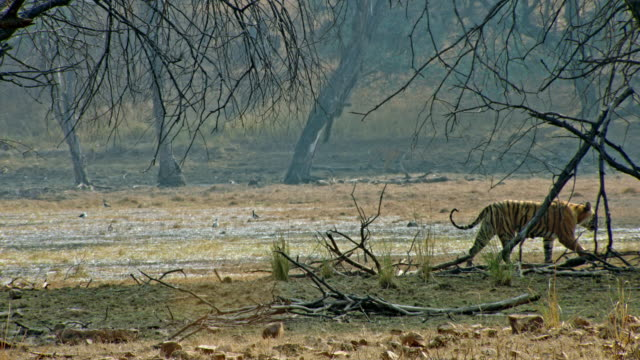 tiger mother and cub meeting at wetland - heat haze stock videos & royalty-free footage