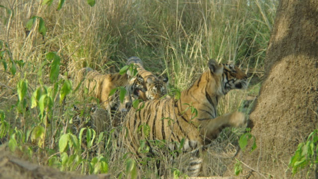 tiger mother and cubs at under wooded area - claw stock videos & royalty-free footage