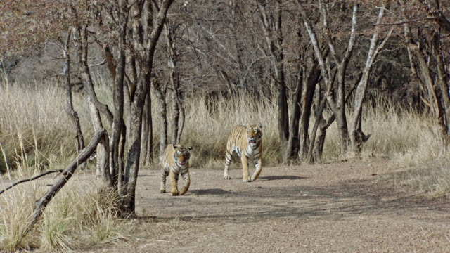 tiger mother and cubs enters at wooded area - kleine gruppe von tieren stock-videos und b-roll-filmmaterial