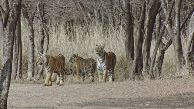 tiger mother and cubs in dry thorn forest - thorn stock videos & royalty-free footage
