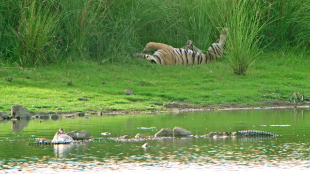 tiger mother and cubs - lakeshore stock videos & royalty-free footage