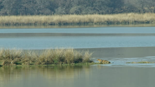 tiger mother and cubs wading through water and reaching lake shore-wide shot - camminare nell'acqua video stock e b–roll