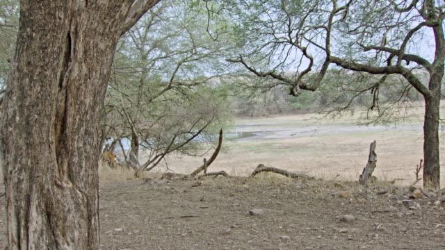 tiger mother and cubs walks away - kleine gruppe von tieren stock-videos und b-roll-filmmaterial