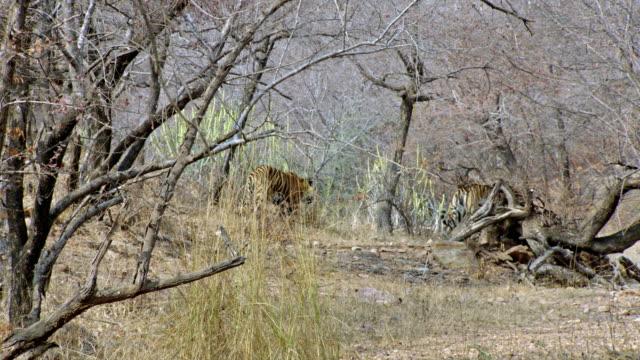 vídeos y material grabado en eventos de stock de tiger mother and sub-adult cubs moving into wooded area - comportamiento de animal
