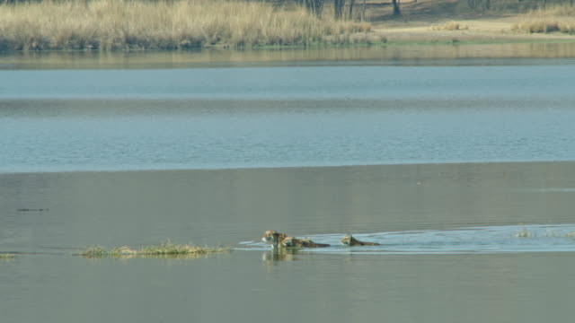 stockvideo's en b-roll-footage met tiger mother crossing lake with her cubs-tracking shot - vier dieren