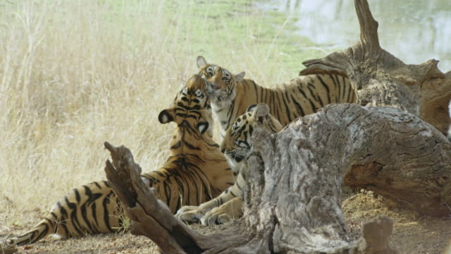 tiger mother grooming her cub - medium group of animals stock-videos und b-roll-filmmaterial
