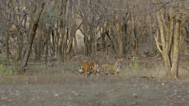tiger mother grooming her cubs - nature reserve stock videos & royalty-free footage