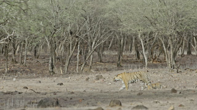 stockvideo's en b-roll-footage met tiger mother with cubs - animal family