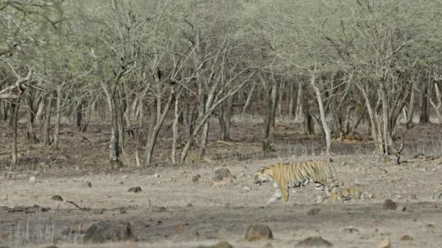 tiger mother with cubs - djurfamilj bildbanksvideor och videomaterial från bakom kulisserna