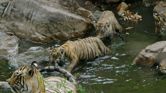tiger mother with cubs - 肉食哺乳動物の子点の映像素材/bロール