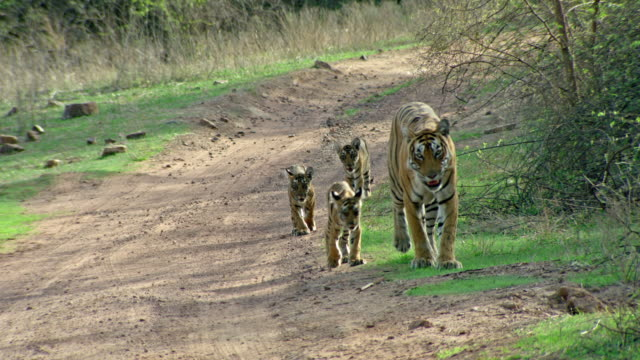 tiger mother with cubs - lakeshore stock videos & royalty-free footage