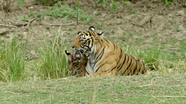 tiger mother with cubs - wildlife tracking tag stock videos and b-roll footage