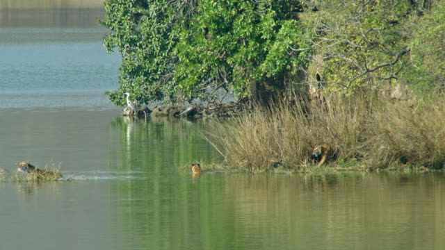 stockvideo's en b-roll-footage met tiger mother with cubs wading in lake water-long shot - vier dieren