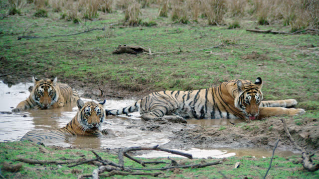 tiger mother with her two cubs in the water edge - tropical rainforest stock videos & royalty-free footage