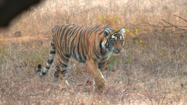 Tiger moving inside a forest in India