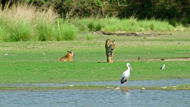 tiger moving towards the bird, its sibling in behind - tropical rainforest stock videos & royalty-free footage