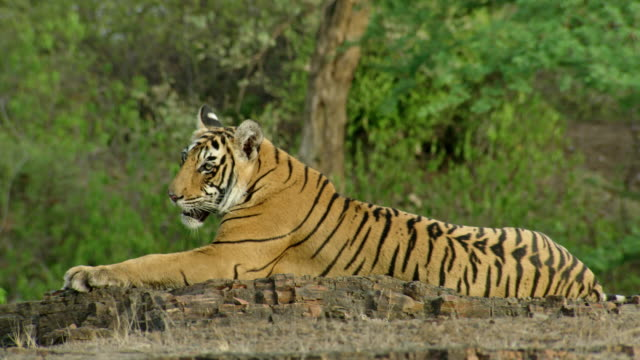 tiger on rock edge - tropical rainforest stock videos & royalty-free footage