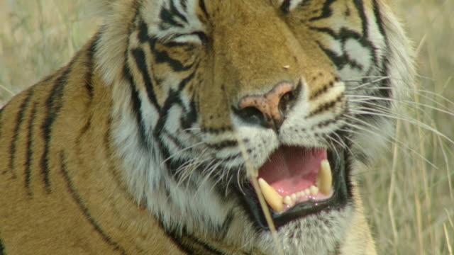 tiger panting - panting stock videos & royalty-free footage