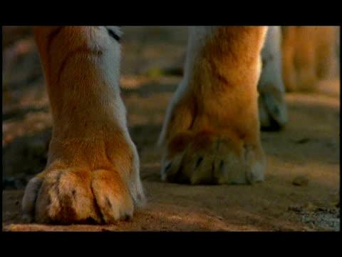 tiger (panthera tigris) paws walking to camera, nagarahole, southern india - animal hair stock videos & royalty-free footage