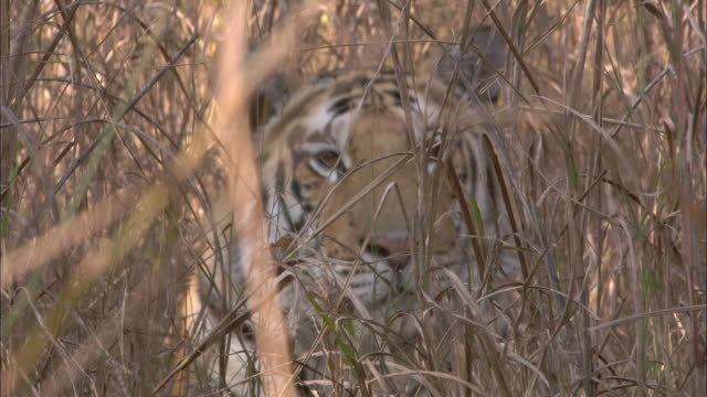 a tiger peers through brush. - disguise stock videos & royalty-free footage