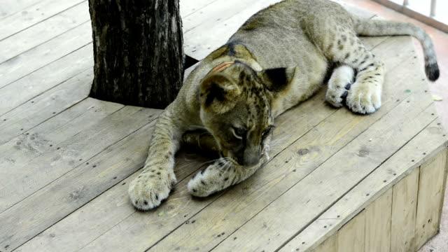 tiger playing in the zoo - morrhår bildbanksvideor och videomaterial från bakom kulisserna