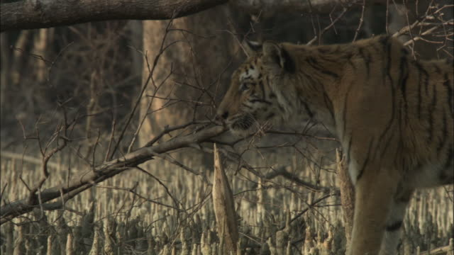 vídeos de stock, filmes e b-roll de a tiger prowls amongst mangrove aerial roots. available in hd. - bangladesh
