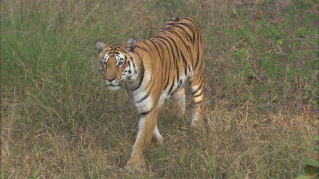 A tiger prowls through grass.