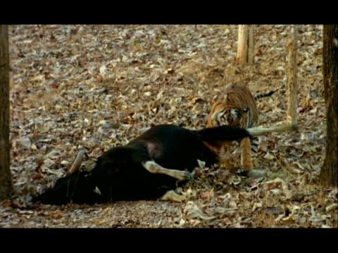 tiger (panthera tigris) pulling gaur (bos gaurus) carcass, nagarahole, southern india - uccidere video stock e b–roll