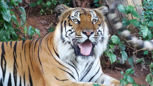 tiger relaxing and looking - tiger stock videos & royalty-free footage