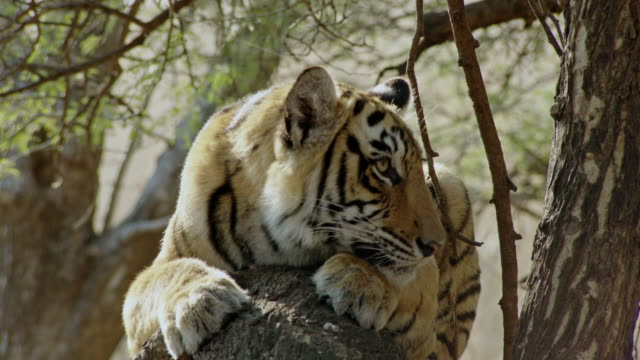 tiger resting on woods - bedrohte tierart stock-videos und b-roll-filmmaterial