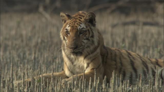 vídeos y material grabado en eventos de stock de a tiger rests amongst mangrove aerial roots. available in hd. - felino grande