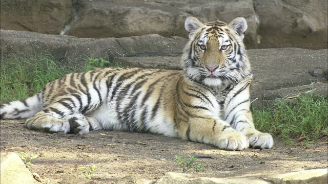 a tiger rests in its shady zoo enclosure. - zoo stock videos & royalty-free footage