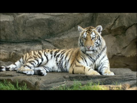vídeos de stock e filmes b-roll de a tiger rests on a rock and looks around before he gets up and walks away. - encostado
