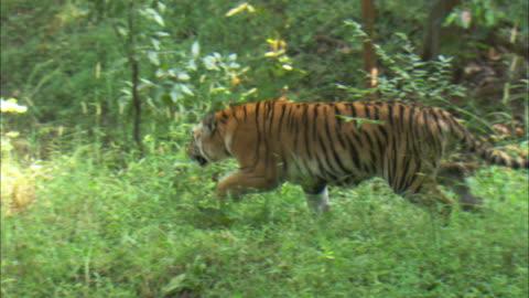 a tiger runs in the forest . - indien bildbanksvideor och videomaterial från bakom kulisserna