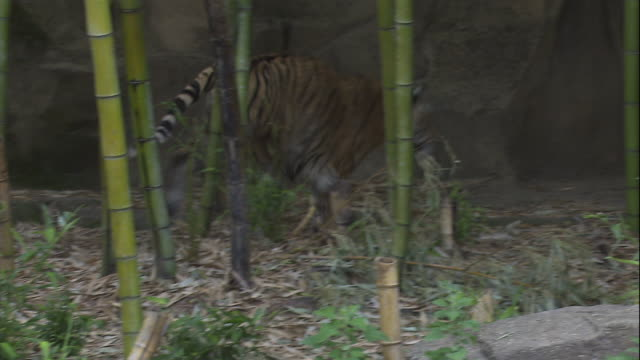 A tiger runs past other tigers in a zoo enclosure.