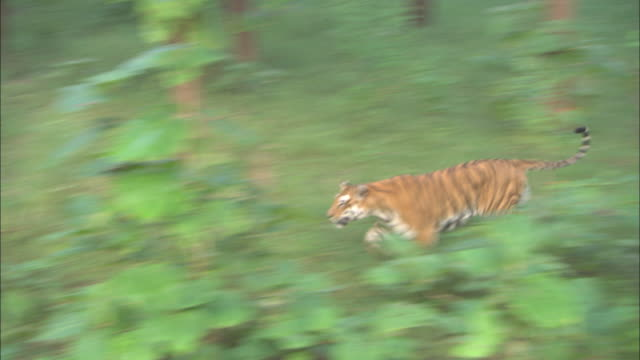 A tiger runs through a forest in the Pench National Park in India.