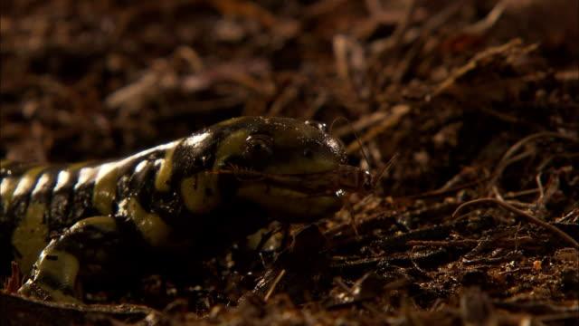 a tiger salamander captures and eats a cricket. - salamander stock videos and b-roll footage
