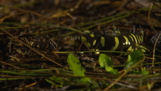 a tiger salamander eats a cricket. - salamander stock videos and b-roll footage