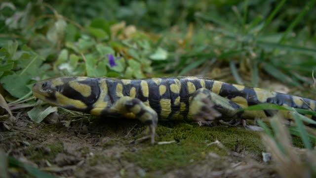 tiger salamander walking - salamander stock videos and b-roll footage
