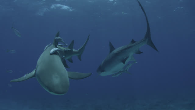 tiger shark (galeocerdo cuvier) and galapagos shark (carcharhinus galapagensis), hawaii - tropischer fisch stock-videos und b-roll-filmmaterial