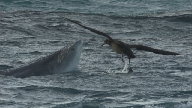 vidéos et rushes de tiger shark (galeocerdo cuvier) attacks black footed albatross (phoebastria nigripes), hawaii - chasser