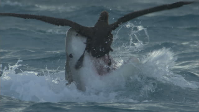 Tiger shark (Galeocerdo cuvier) attacks black footed albatross (Phoebastria nigripes), Hawaii