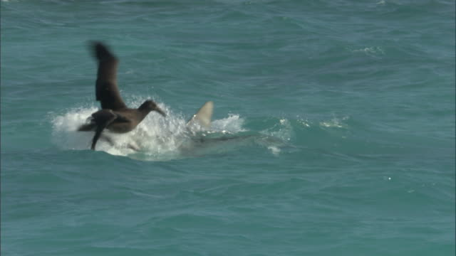 Tiger shark (Galeocerdo cuvier) attacks black footed albatross (Phoebastria nigripes), Hawaii