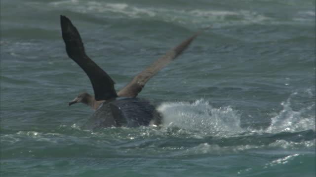 tiger shark (galeocerdo cuvier) attacks black footed albatross (phoebastria nigripes), hawaii - albatross stock videos & royalty-free footage
